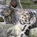 Snow leopardess lying down