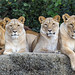 Three lionesses and Mbali