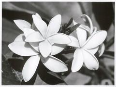 Frangipani, Rarotonga