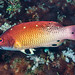 Redfin Hogfish, terminal phase - Bodianus dictynna