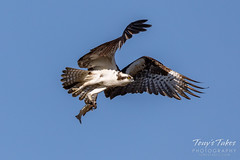 March 29, 2020 - An osprey bringing home a fish for breakfast. (Tony's Takes)