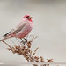 Great Rosefinch (Carpodacus rubicilla)