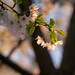 More of the Blossoms of Twinbrook