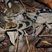 Cyrtodactylus samroiyot