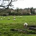 Sheep At  Cullum Road, Still No Lambs