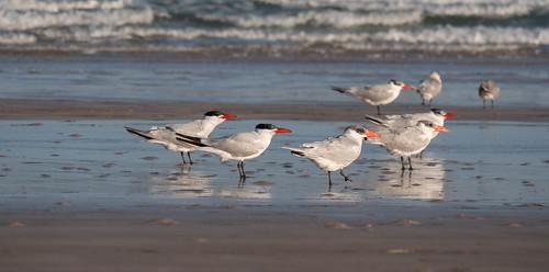 Tern or a skimmer?