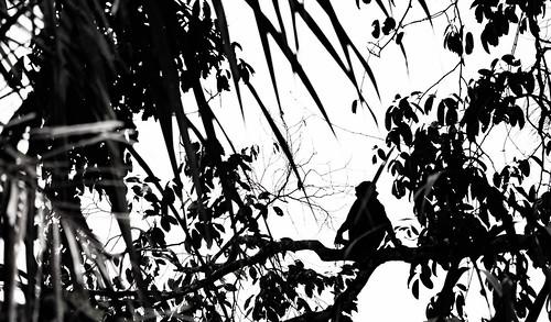 Monkey overwatch