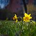 Springrays