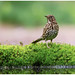Song Thrush - Zanglijster (Turdus philomelos) ...