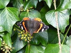 Photo of Kennet & Avon Canal, Kintbury: red admiral butterfly
