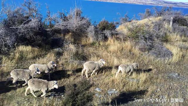 紐西蘭80號公路的羊群很可愛