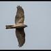Collared Sparrowhawk: Cruisin'