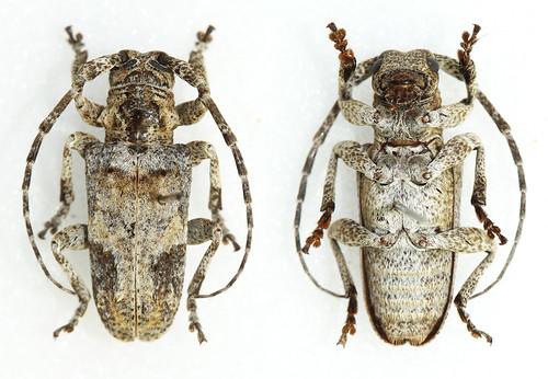 Idactus spinipennis