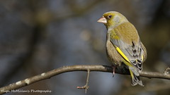 Photo of Greenfinch