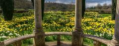 Photo of Daffodil Heaven
