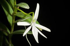 [Grande Comore, Comoros] Jumellea comorensis (Rchb.f.) Schltr., Beih. Bot. Centralbl. 33(2): 428 (1915)