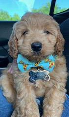 Teddy looking cute with his bowtie