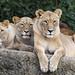 Three lionesses posing well