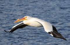 March 31, 2020 - A pelican takes flight. (Bill Hutchinson)