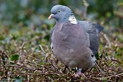 Photo of Wood Pigeon, Columba palumbus