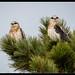 Black-shouldered Kite: Freshly Pressed