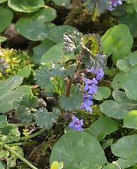 Photo of Ground Ivy by Pinkneys Green