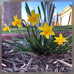 March 31, 2020 - Early blooms in Thornton. (Mary Lindow)