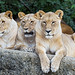 Three lionesses posing well, one more time
