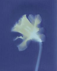 Photo of Daffodil