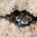 Northern Dune Tiger Beetle (Cicindela hybrida) Burrow