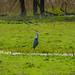 Heron in Cullum Road