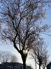 Photo of Blossom tree and Glenrothes