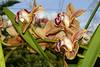 Cymbidium Exeter Pomegranate hybrid orchid 3-20