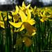 2020 03 20 - backlit daffodils 2
