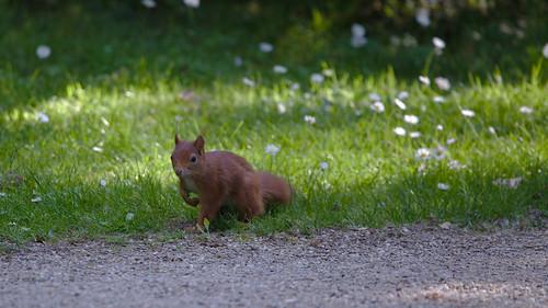 Eichhörnchen im Schlossgarten Schwetzingen