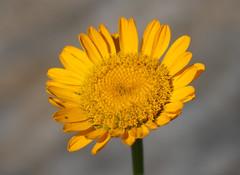 Photo of Yellow Chamomile (Anthemis tinctoria)