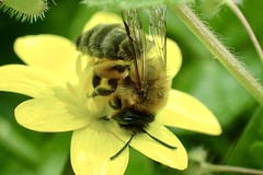 Photo of Andrena bicolor Gwynne's Mining Bee