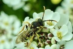 Photo of Nomada fucata Painted Nomad Bee