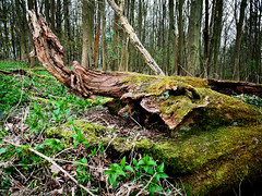 Photo of Fallen tree in the woods, or a resting elephant?