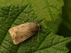 Photo of 73.064 Amphipyra tragopoginis