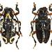 Acanthoderes rufofemorata