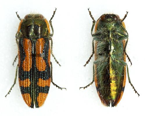 Lasionota bifasciatus