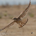 A Common Kestrel Taking Flight