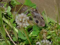 Anglų lietuvių žodynas. Žodis meadow mouse reiškia pieva pelės lietuviškai.