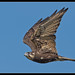 Brown Falcon: All Growed Up