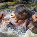 Fighting hippos!