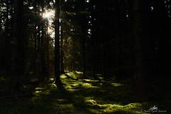 2020-04-03 16.47.00 - SHhhhh..., Arsat Shiuft 35mm F2.8, 100% Manuel, Dag 94-366, Uge 14, Løvenholm skov, Auning, Norddjurs, Grenå - _DSC0091 - ©Anders Gisle Larsson