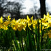 2020 03 20 - backlit daffodils 1