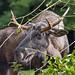 Elk eating some vegetation