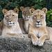 Three lionesses...